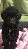 Poodle Puppies for sale in Pomeroy, OH, USA. price: NA