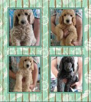 Poodle Puppies for sale in Flint Twp, MI, USA. price: NA