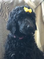 Poodle Puppies for sale in Breese, IL 62230, USA. price: NA