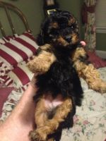 Poodle Puppies for sale in Lake City, SC 29560, USA. price: NA