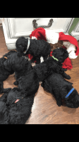 Poodle Puppies for sale in Demossville, KY 41033, USA. price: NA