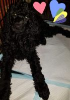 Poodle Puppies for sale in Omaha, NE, USA. price: NA