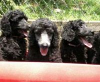 Poodle Puppies for sale in Asheville, NC, USA. price: NA