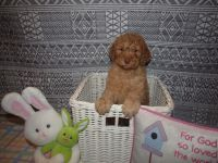 Poodle Puppies for sale in Columbus Grove, OH 45830, USA. price: NA