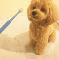 Poodle Puppies for sale in Fresno, CA 93720, USA. price: NA