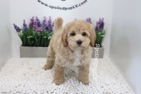 Poodle Puppies for sale in Las Vegas, NV 89178, USA. price: NA