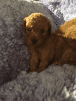 Poodle Puppies for sale in Colorado Springs, CO 80903, USA. price: NA