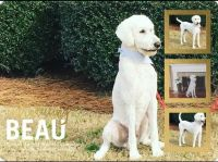 Poodle Puppies for sale in Winder, GA 30680, USA. price: NA