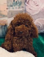 Poodle Puppies for sale in Pondfield Rd, Bronxville, NY 10708, USA. price: NA