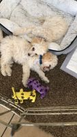 Poodle Puppies for sale in Coachella, CA, USA. price: NA
