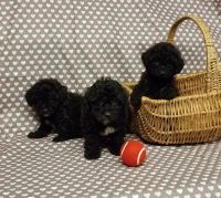 Poodle Puppies for sale in Los Angeles, CA, USA. price: NA