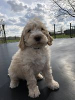 Poodle Puppies for sale in Plain City, OH 43064, USA. price: NA