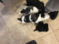 Poodle Puppies for sale in Jacksonville, FL, USA. price: NA