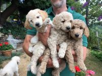 Poodle Puppies for sale in Las Vegas, NV, USA. price: NA
