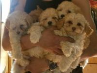 Poodle Puppies for sale in Palmdale, CA, USA. price: NA