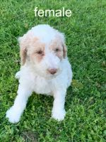 Poodle Puppies for sale in Madison, Nashville, TN 37115, USA. price: NA