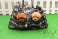 Poodle Puppies for sale in New York, NY, USA. price: NA