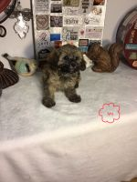 Poodle Puppies for sale in Belding, MI 48809, USA. price: NA