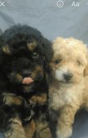 Poodle Puppies for sale in Montgomery, TX, USA. price: NA
