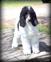 Poodle Puppies for sale in Spokane, WA, USA. price: NA