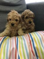 Poodle Puppies for sale in Texas City, TX, USA. price: NA