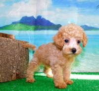 Poodle Puppies for sale in Hammond, IN, USA. price: NA