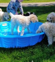 Poodle Puppies for sale in Clark County, WA, USA. price: NA