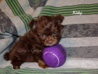 Poodle Puppies for sale in Elkland, MO 65644, USA. price: NA