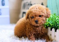Poodle Puppies for sale in Orange County, CA, USA. price: NA