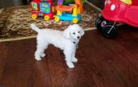 Poodle Puppies for sale in Round Rock, TX, USA. price: NA