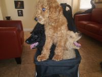 Poodle Puppies for sale in Miami, FL 33178, USA. price: NA