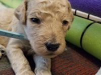 Poodle Puppies for sale in Virginia Beach, VA, USA. price: NA