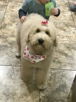Poodle Puppies for sale in Bentonville, AR, USA. price: NA