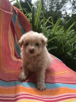 Poodle Puppies for sale in Great Valley, NY 14741, USA. price: NA