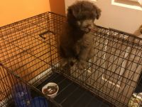 Poodle Puppies for sale in Stafford, VA 22554, USA. price: NA