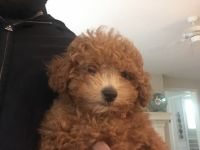 Poodle Puppies for sale in Overland Park, KS, USA. price: NA