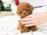 Poodle Puppies for sale in Clyde, TX 79510, USA. price: NA