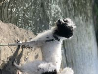Poodle Puppies for sale in Bloomsburg, PA 17815, USA. price: NA