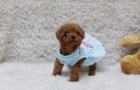 Poodle Puppies for sale in Minneapolis, MN, USA. price: NA