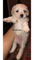 Poodle Puppies for sale in Irving, TX 75060, USA. price: NA