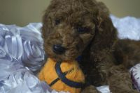 Poodle Puppies for sale in Riverside, CA, USA. price: NA