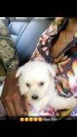 Poodle Puppies for sale in New Orleans, LA, USA. price: NA