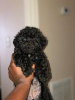 Poodle Puppies for sale in Hampton, GA 30228, USA. price: NA