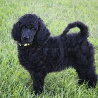 Poodle Puppies for sale in Monett, MO, USA. price: NA