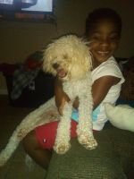 Poodle Puppies for sale in 1000 Greens Rd, Houston, TX 77060, USA. price: NA