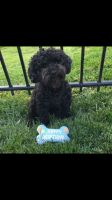 Poodle Puppies for sale in Bolingbrook, IL, USA. price: NA