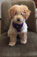 Poodle Puppies for sale in Harrisburg, PA, USA. price: NA