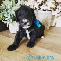 Poodle Puppies for sale in Oakley, ID 83346, USA. price: NA