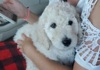 Poodle Puppies for sale in Galveston, TX, USA. price: NA