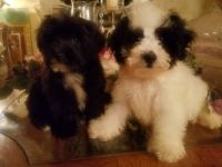 Poodle Puppies for sale in 362 Highland Ave, Clifton, NJ 07011, USA. price: NA